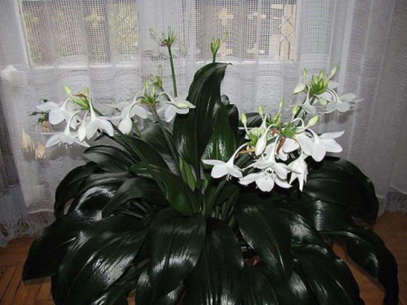Цветок лилия фото комнатная уход в домашних условиях фото