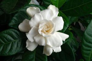 Цвет жасмин