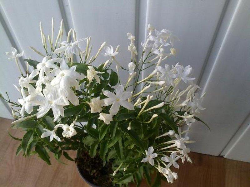 Запах цветущего жасмина комнатного.
