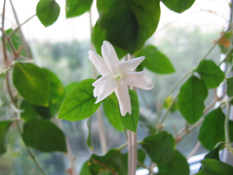 Как вырастить жасмин