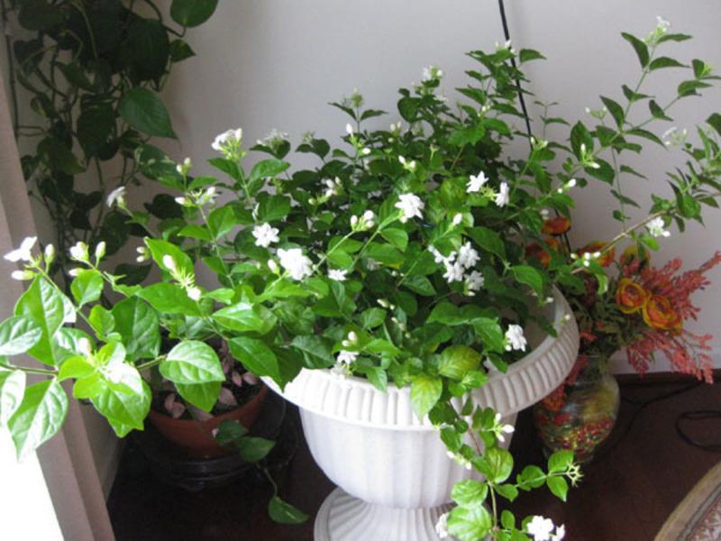 Нежные цветы жасмина
