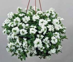 ампельные домашние цветы фото и названия