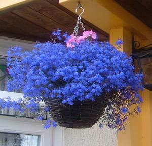 Ампельные цветы для кашпо на улице