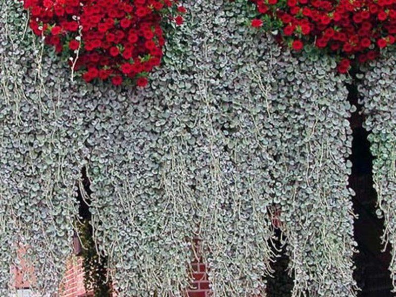 Ампельные растения для сада: фото и названия.