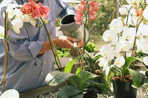 Особенности полива цветущих орхидей в домашних условиях
