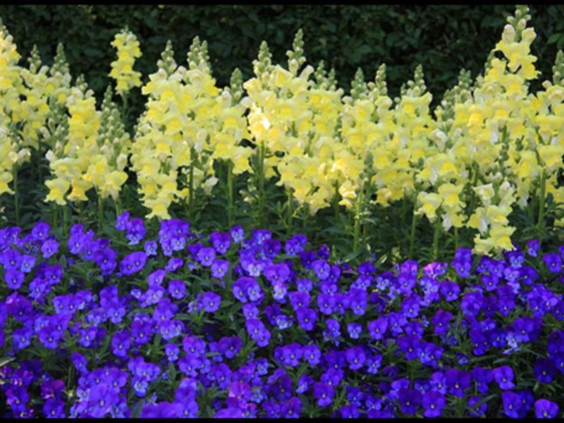 Левкои цветы многолетники