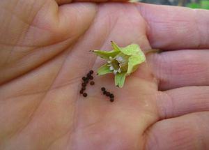Советы опытных цветоводов, как правильно выбрать семена примулы