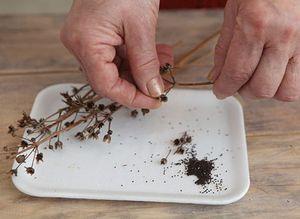 Выращивание примул в домашних условиях из семян, собранных в саду