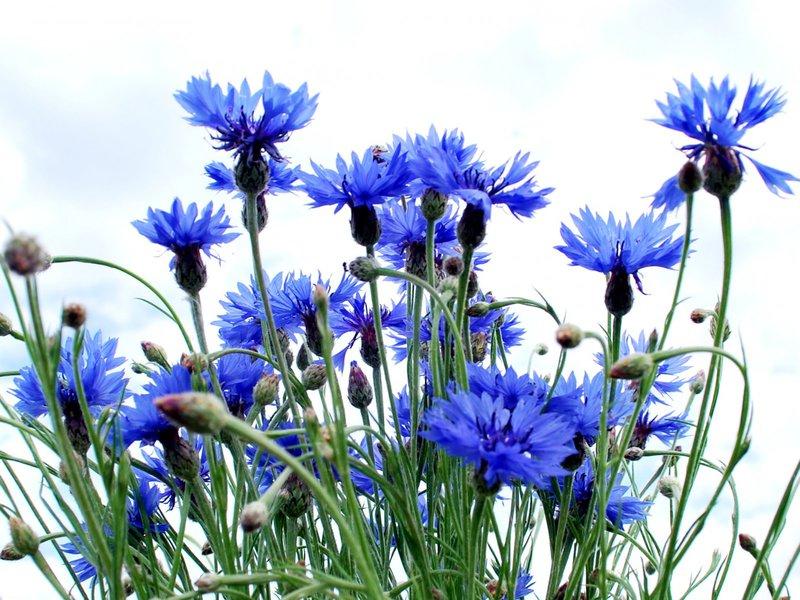 Цветок колокольчик описание растения и фото некоторых