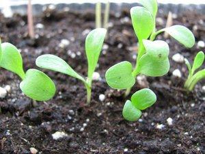 Выращивание васильков в саду: посадка и уход 78