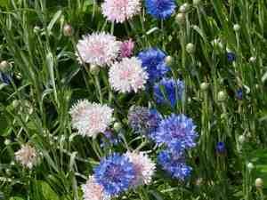 Разноцветные васильки в саду