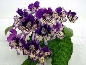 Сорта растения стрептокарпуса