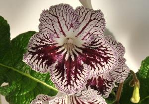 Самые популярные сорта цветка стрептокарпус