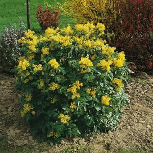 выращивание магонии падуболистной из семян