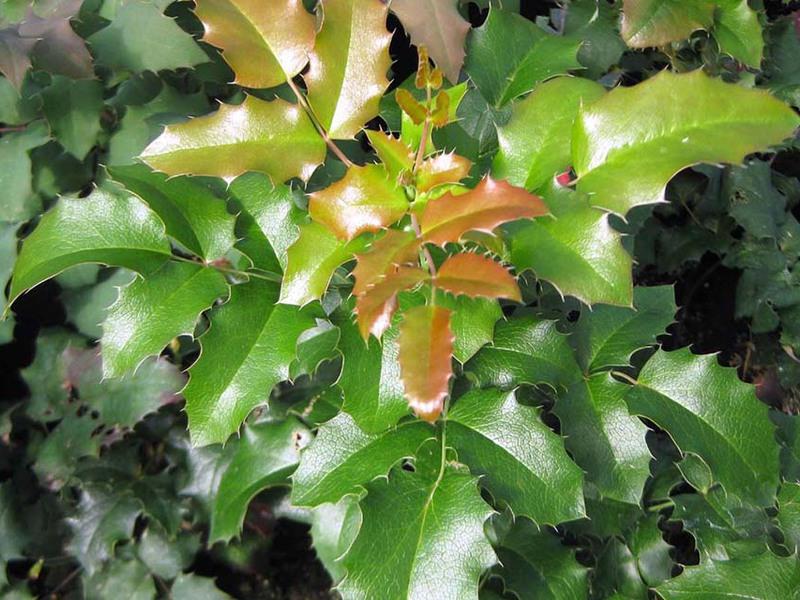 Магония падуболистная уход и выращивание