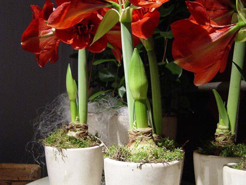 Во что посадить амариллис