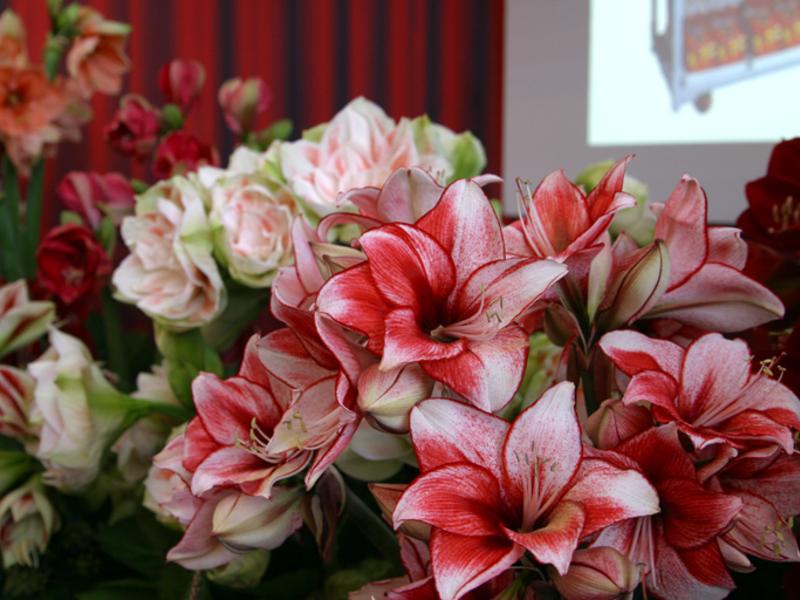Окраска цветка: основной фон - ярко-малиновый