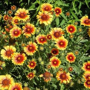 Сорт цветка гайлардии