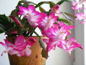 Фото цветка декабриста