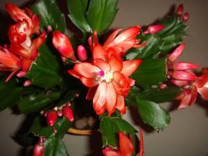 Виды растения декабрист