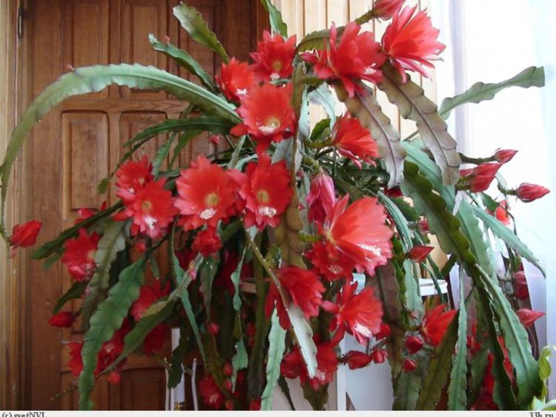 Комнатный цветок декабрист уход
