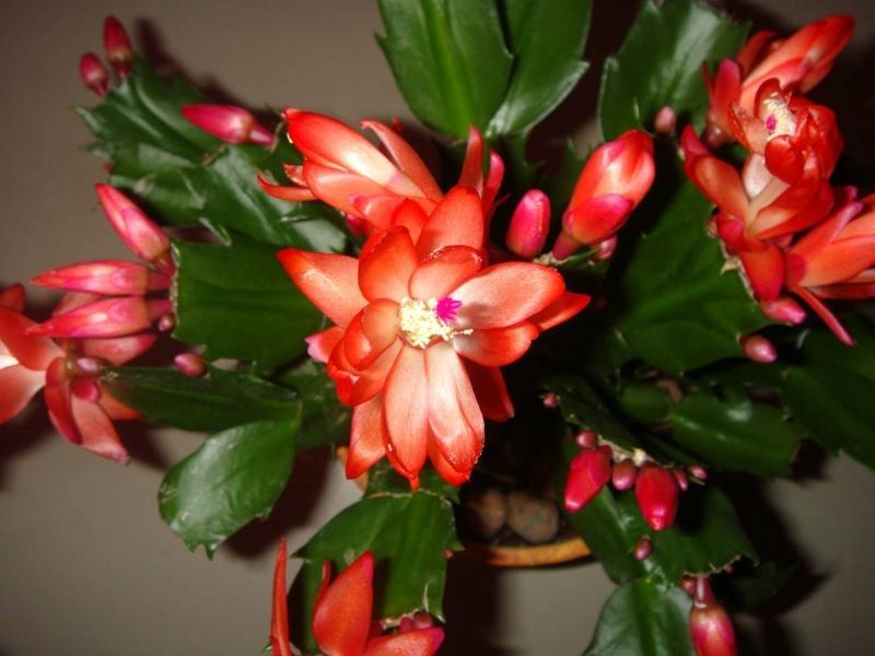 Как вырастить цветок декабрист