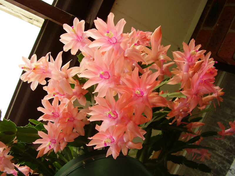 Цветок декабрист шлюмбергера зигокактус уход в домашних