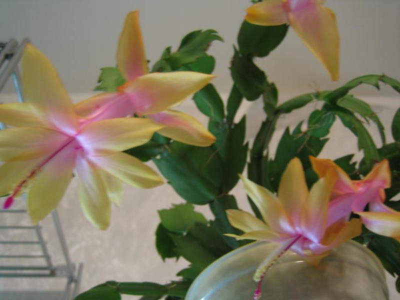 Цветы декабристы фото