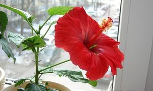 Выращивание гибискуса в домашних условиях: виды, посадка и уход, фото роз