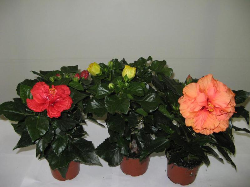Выращивание гибискуса в домашних условиях: виды, посадка и 75
