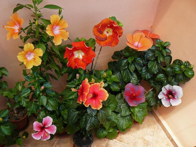 Выращивание гибискуса в домашних условиях: виды, посадка и 54