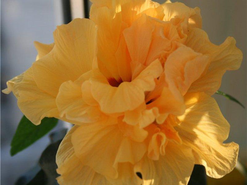 Выращивание гибискуса в домашних условиях: виды, посадка и 99