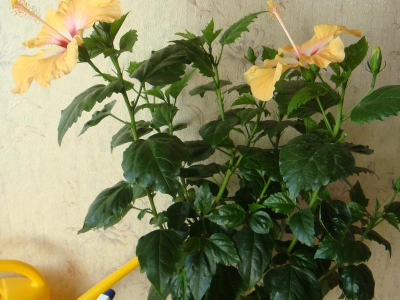 Выращивание гибискуса в домашних условиях: виды, посадка и 29