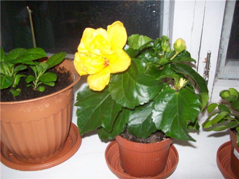 Выращивание гибискуса в домашних условиях: виды, посадка и 88