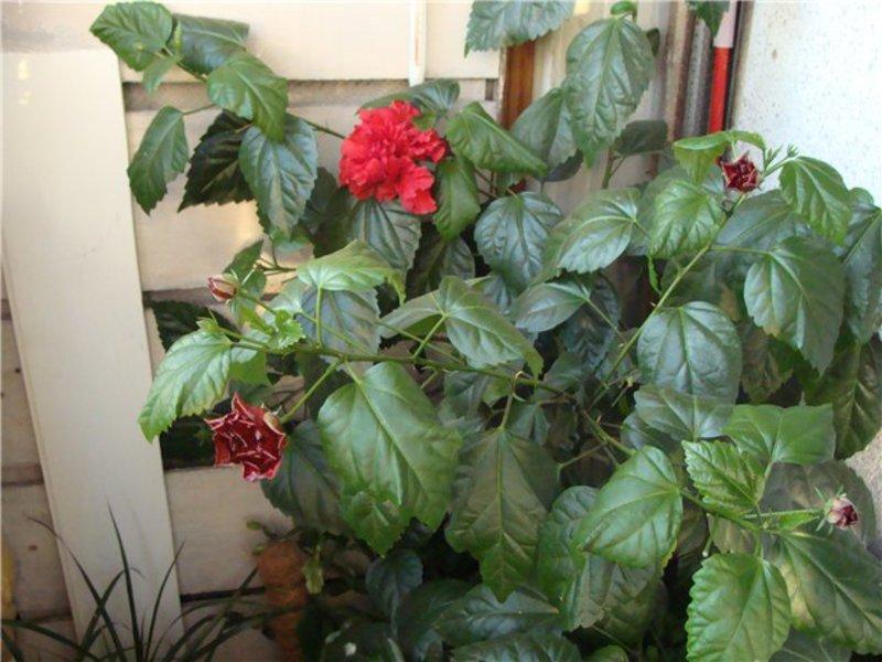 Выращивание гибискуса в домашних условиях: виды, посадка и 9