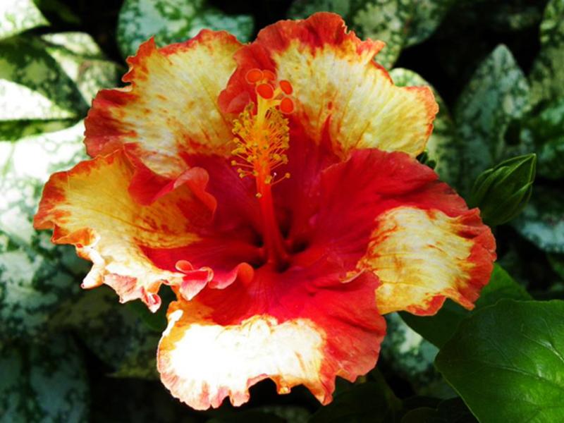 Выращивание гибискуса в домашних условиях: виды, посадка и 82