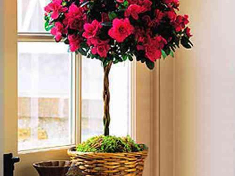 В каком уходе нуждаются цветки азалий