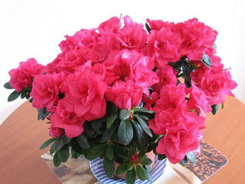 Азалия - одна из самых привлекательных растений