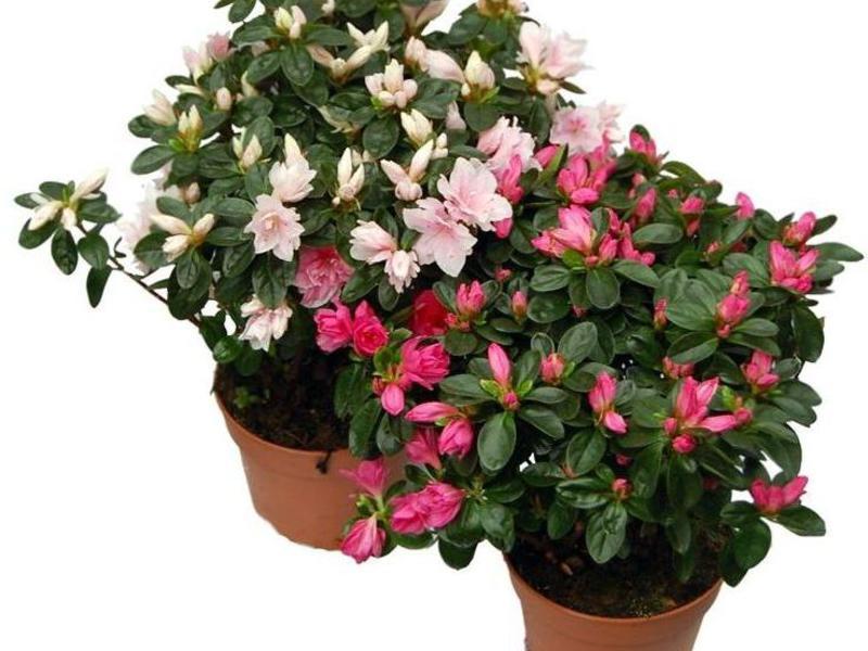 Азалия - одна из самых привлекательных цветов
