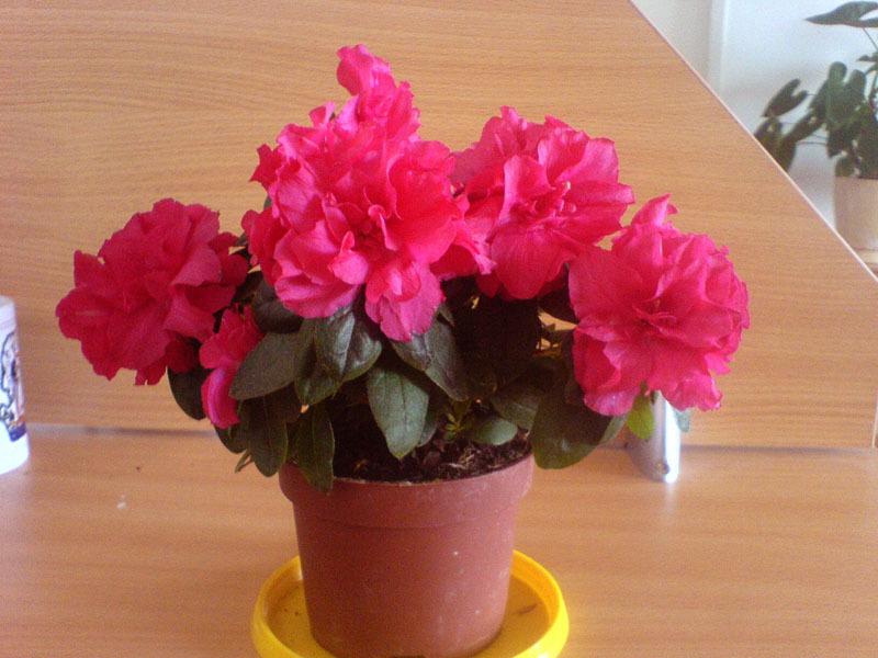 Цветок азалия как ухаживать в домашних условиях