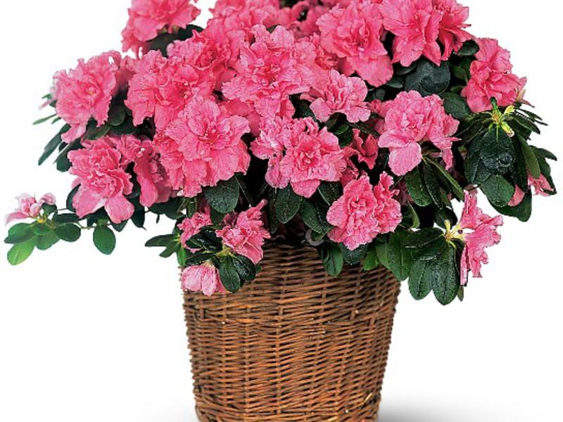 Домашнее растение азалия