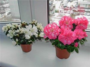 Картинки азалия цветок