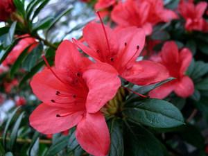 Цветок азалия