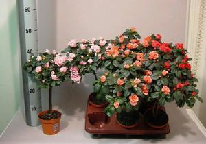 Азалия цветок уход в домашних условиях