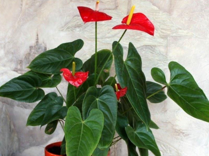Растение женское счастье уход в домашних условиях