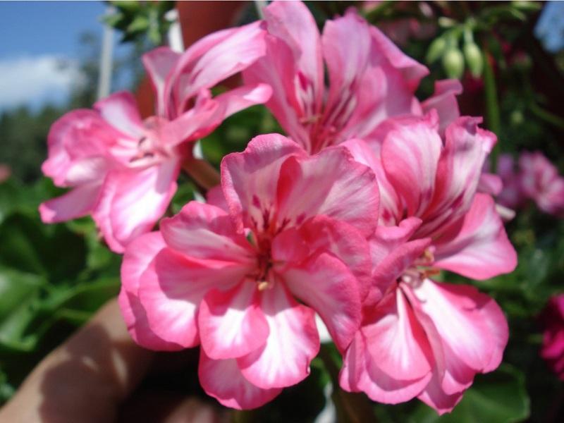 Вид цветка пеларгонии королевской сорта Carme