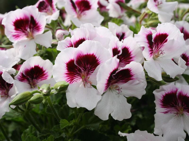 Цветки пеларгонии королевской сорта Angel
