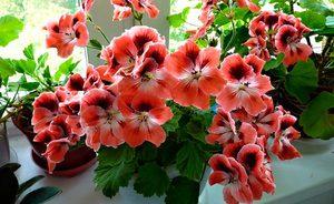 Общее описание цветка королевской пеларгонии