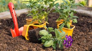 Гацания выращивание из семян в домашних условиях