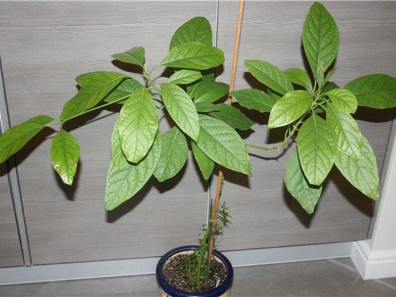 Растение манго